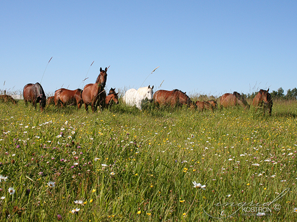 The mare herd at Ashland Farm, Beckwith, Ontario, Canada